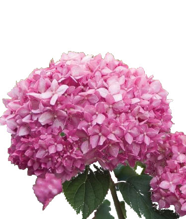 Hortensja Pink Anabelle Różowa Sadzonka Bazar Rolny Nowe