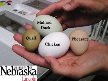 http://lancaster.unl.edu/4h/Images/Embryology/Photos/Quail_Pheasant/Eggs_PheaDuckChickQuail.jpg