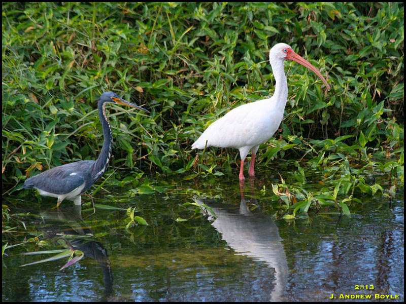 Tricolored Heron and White Ibis