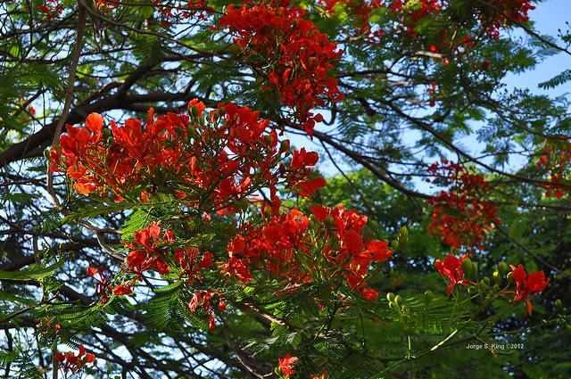 Flores de flamboyant III