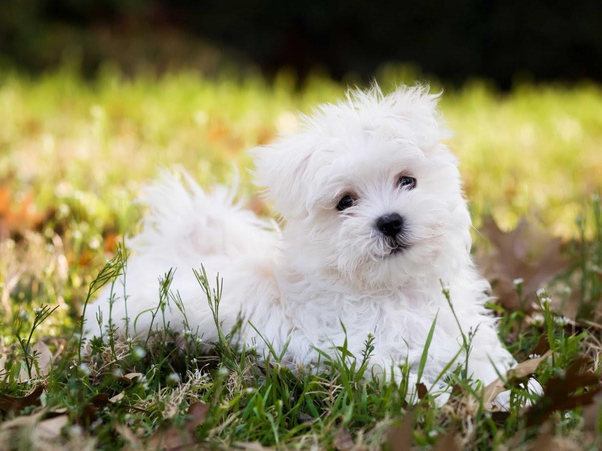 Maltese Dog  Puppies, Rescue, Pictures, Information, Temperament, Characteristics  Animals