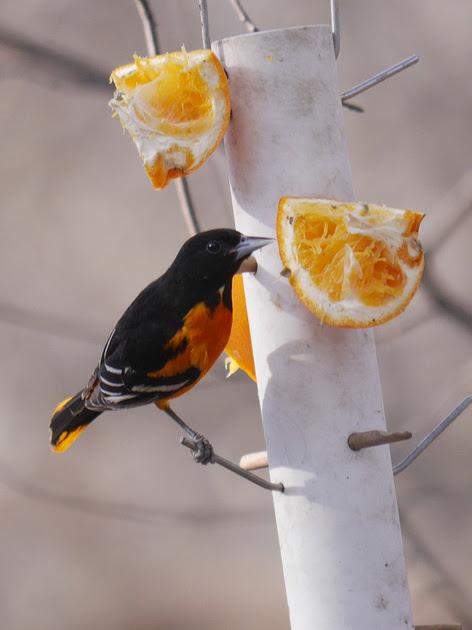 Ed Gaillard: birds &emdash; Baltimore Oriole, Central Park