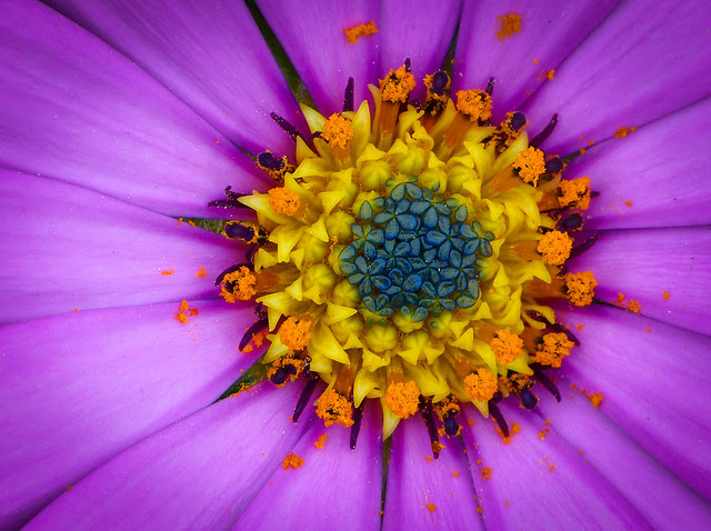 purple, yellow, blue, flower