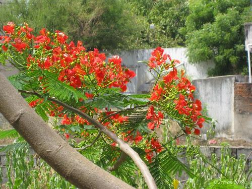 Bloomed Gulmohar