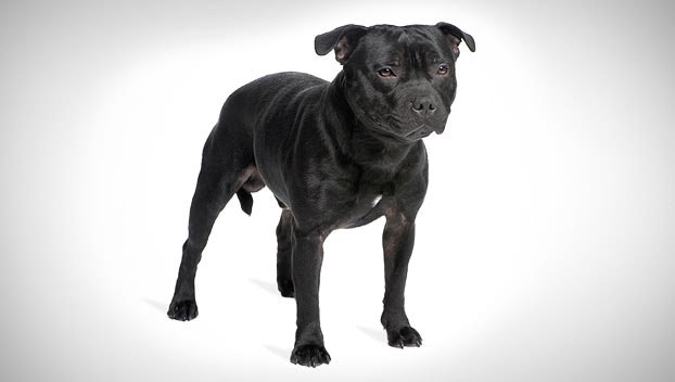 Staffordshire Bull Terrier Dog Breed Selector Animal Planet