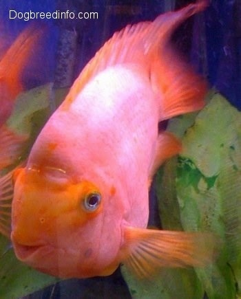 Flowerhorn the hybrid cichlids blood parrot information for Parrot fish facts