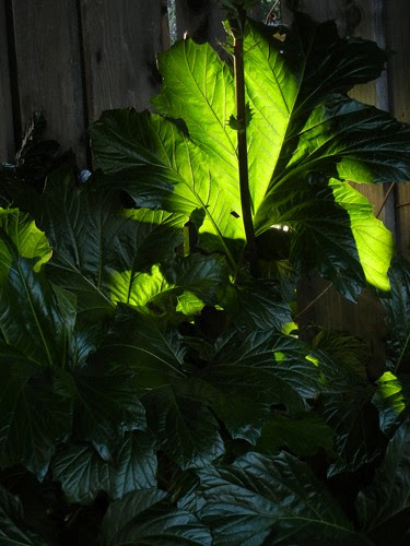 Back Lit Leaves _ 8592