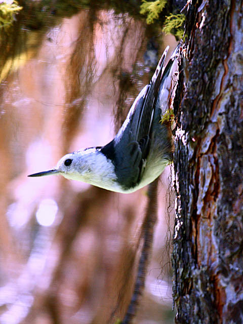 White-breasted Nuthatch (Rocky Mountain Nuthatch)