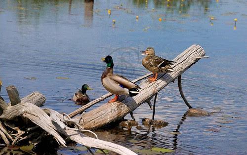 Orillia - Speaking of Ducks