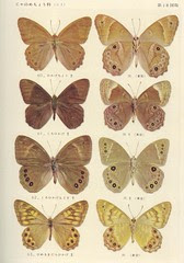 papillon 18