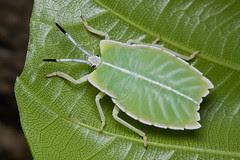 A green shield bug nymph............IMG_1053 copy