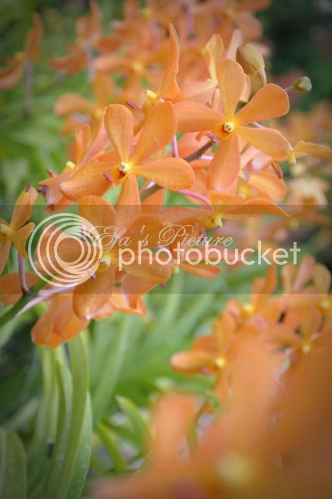 Cerita Amoi Sepet bunga ORKID laaaa