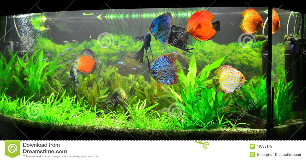 Home Aquarium With Discus Fish And Plants Royalty Free Stock Photo ...