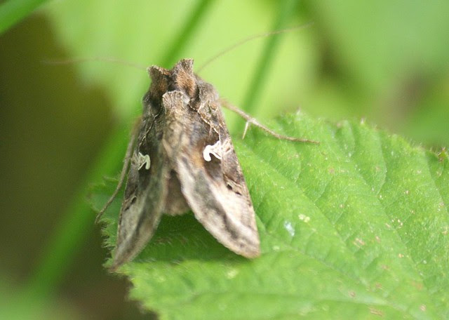 Silver Y moth DSC_4072