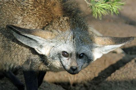 Bat eared Fox   Natural History