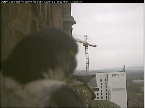 14 may 09  tiercel and feral pigeon