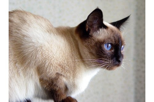 traditional seal Siamese cat