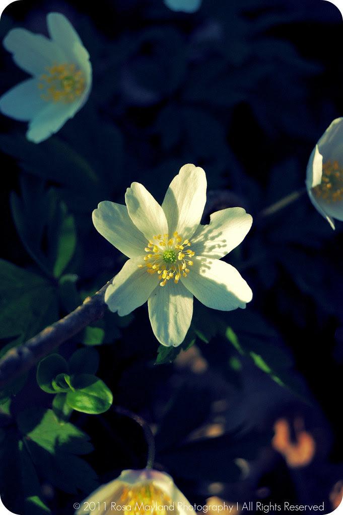 Spring Flower 1.1 bis