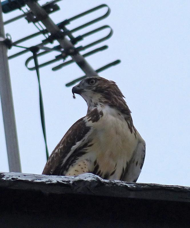 Tagged hawk with squirrel