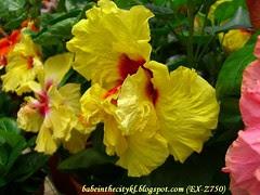 ch - cv gigantic yellow hibiscus