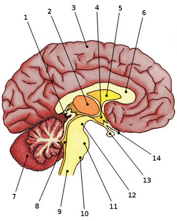 Free Anatomy Quiz - Anatomy of the Brain, Quiz 1