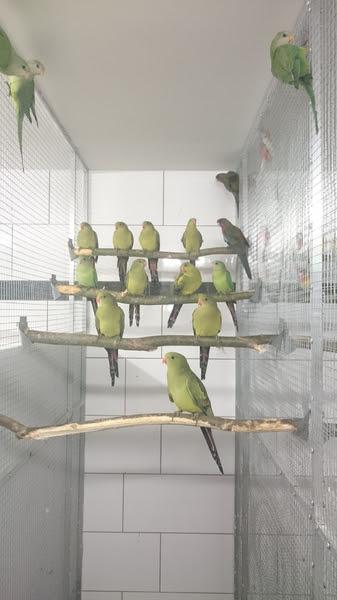 Papageien und Sittiche  Suche  Biete