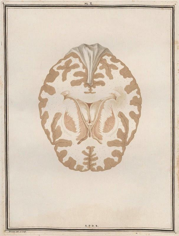 cross-section book illustration of brain tissue