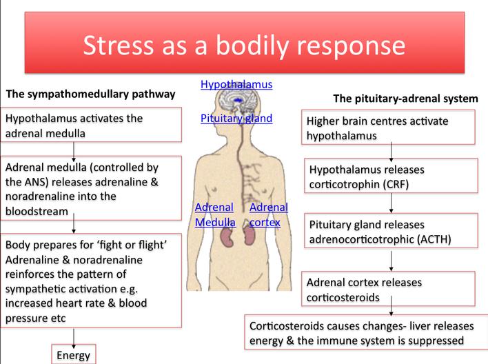 biological stress response - AS Psychology
