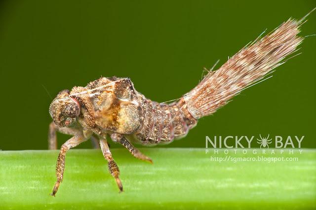 Planthopper nymph (Fulgoromorpha) - DSC_9907