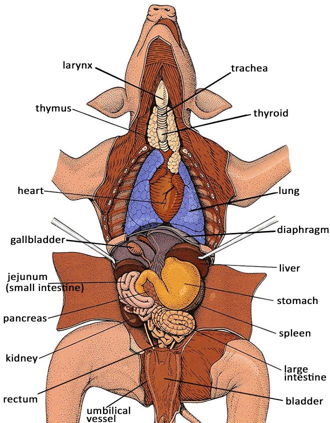 fetal pig diagram