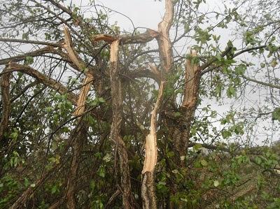 Resultado de imagem para Milhares de árvores danificadas ou destruídas pelo gelo