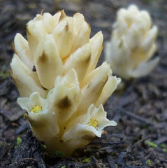 pinesap