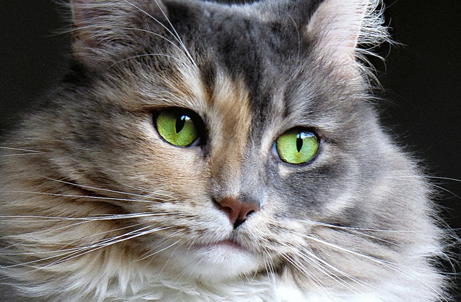Cat Eye Conditions and Diseases | petMD