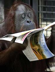 Orangután leyendo el periódico