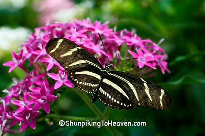 Zebra Heliconian Butterfly, Olbrich Botanical Gardens, Madison, Wisconsin