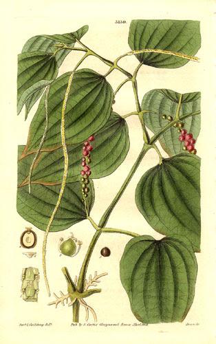 File:Piper nigrum drawing 1832.jpg
