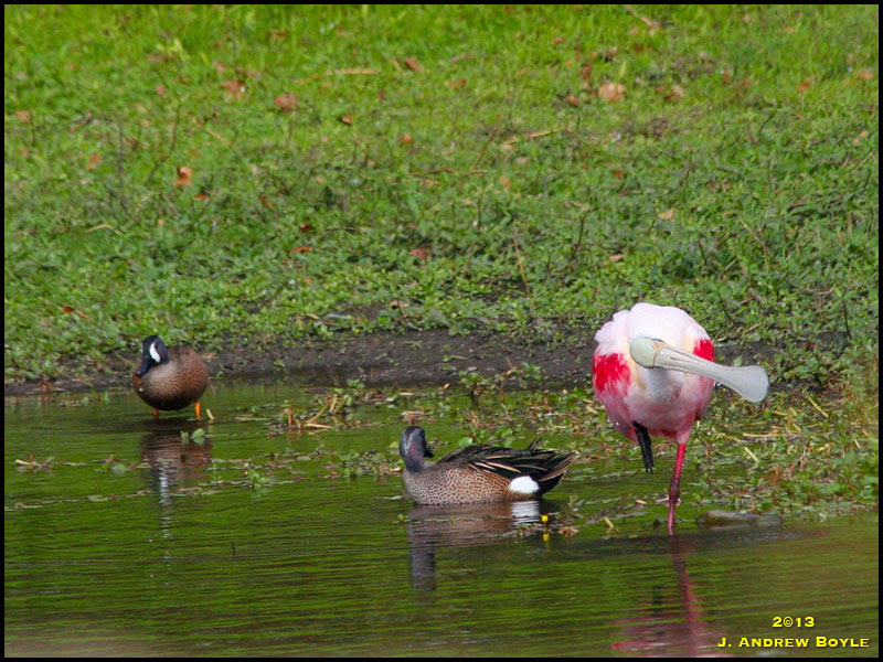 Blue-winged Teal and Roseate Spoonbill