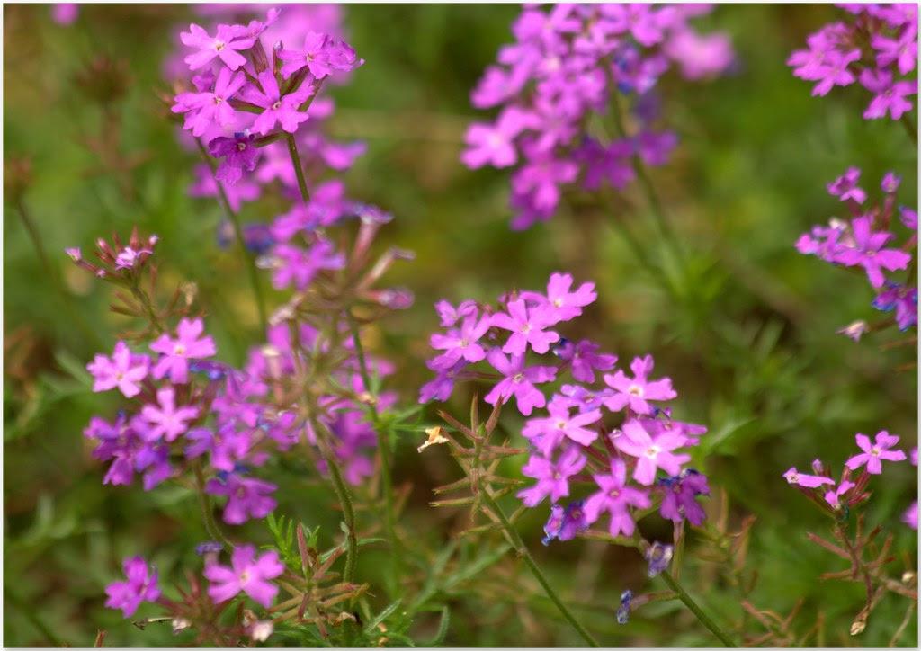 Verbena tenuisecta