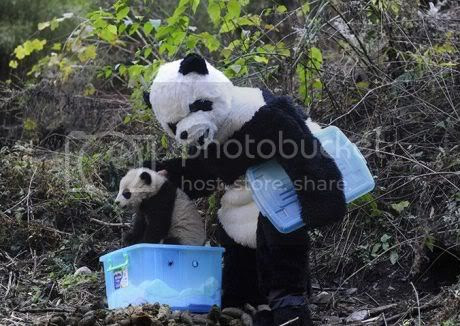 Pandamen Taking Care of Baby Pandas