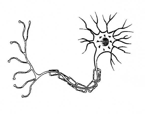 Neuron Diagram Unlabeled