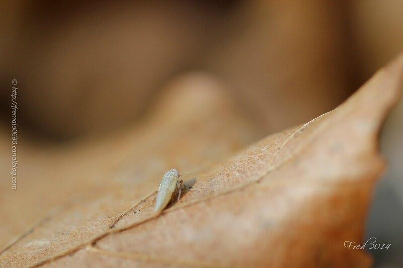 Larve Hemiptera indéterminée