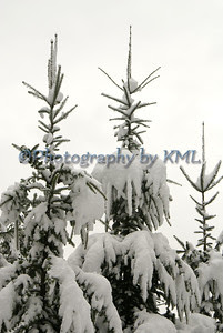 snow covered balsam pine trees