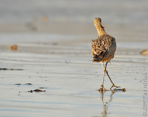 Curlew shuffle