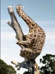 Giraff försöker gömma sig