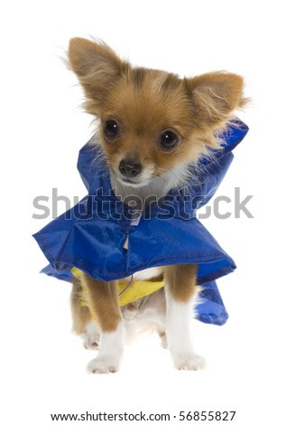 long haired chihuahua puppies for sale in nc. colors Blue+chihuahua+