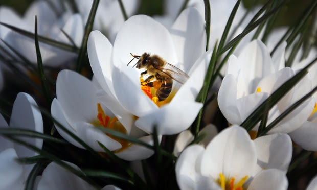 A bee sits on a flower to collect pollen at a park in Westminster, London.