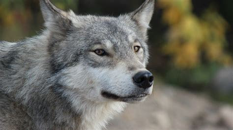 grey wolf portrait wallpaper allwallpaperin  pc en