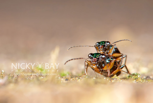 Ground Beetles (Carabidae) - DSC_5237