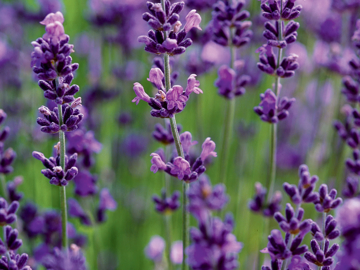 What To Do With Fresh Cut Lavender Flowers Hunker