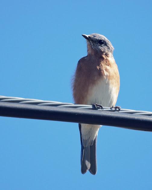 Ed Gaillard: recent &emdash; Eastern Bluebird, Greene County NY